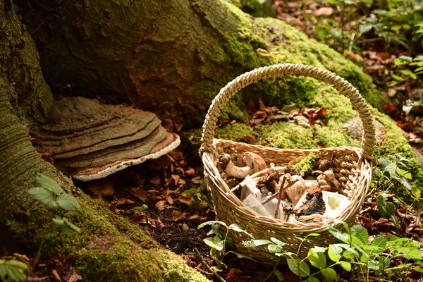 A basket of fungi samples collected from a woodland is positioned at the base of a tree, where a fungus bracket is growing