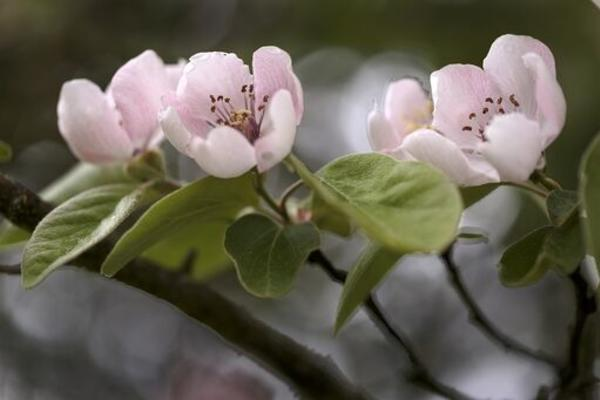 Three pink Quince flowers, surrounded by green leaves and stems