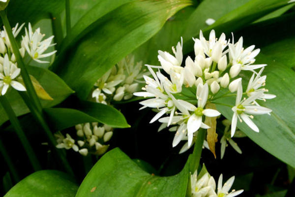 Ramsons (Wild Garlic), round ball shaped cluster of white petals surrounded by large green leaves.