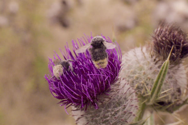 Image of Bee on thistle plant