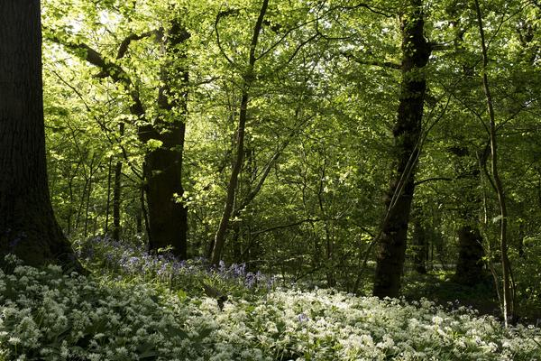 Trees in a woodland, with bluebells and wild garlic